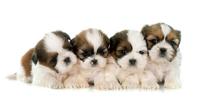 Shih Tzu Puppies Adorable Pictures And Facts Dogtime