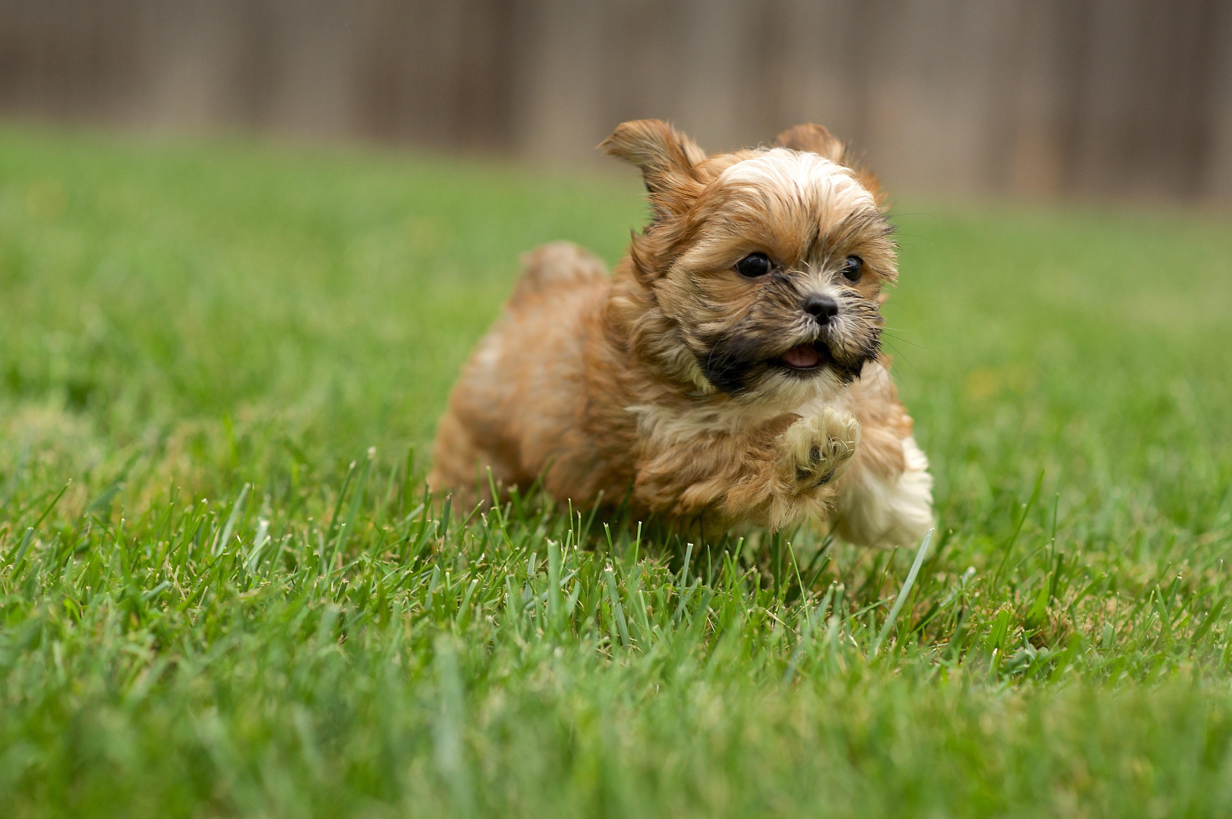 Shorkie Mixed Dog Breed Pictures