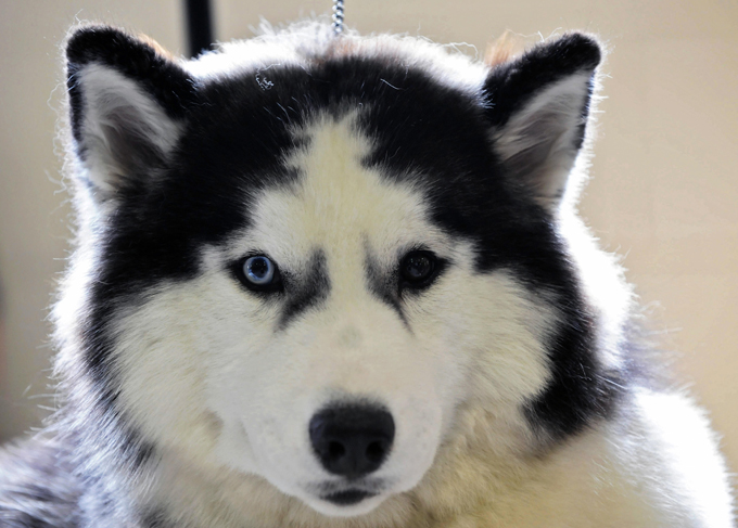 Husky Dog Breed Plus
