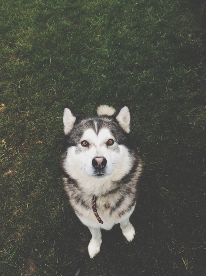 tne features of the siberian husky breed This article is a compilation of the top 20 cutest husky mix  amiable and wild features siberian huskies are known  breed from siberian husky and.