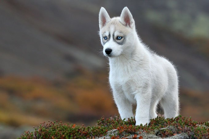 1000  images about Siberian Husky on Pinterest