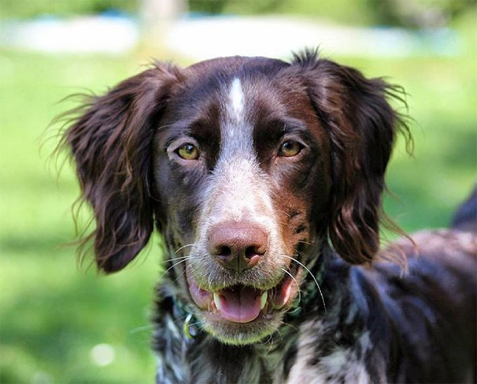 Small Munsterlander Pointer Dog Breed Picture