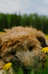 Wheaten Terrier Adults