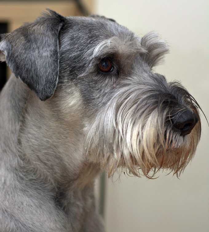 Different types schnauzer dogs