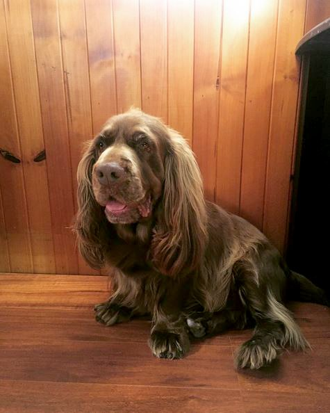 Sussex Spaniel Dog Breed Information Pictures Characteristics