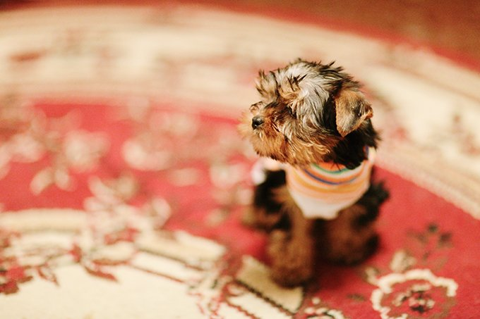 Teacup Yorkie Puppies Dogtime