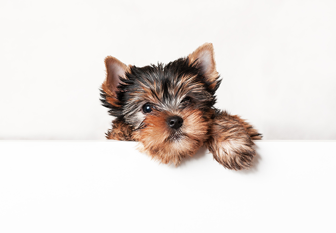 tea cup yorkie images teacup yorkie puppies dogtime 9457