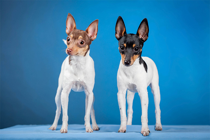 Toy Fox Terrier Dog Breed Information Pictures Characteristics