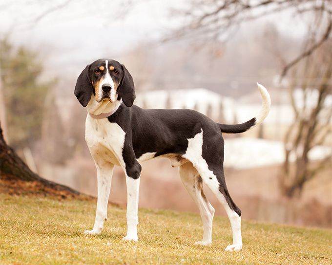 Walker Coon Dogs For Sale