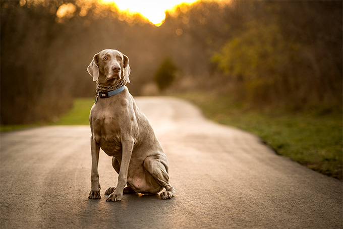 Weimaraner Dog Breed Picture