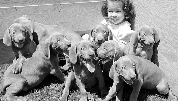 Girl with Weimaraner puppies