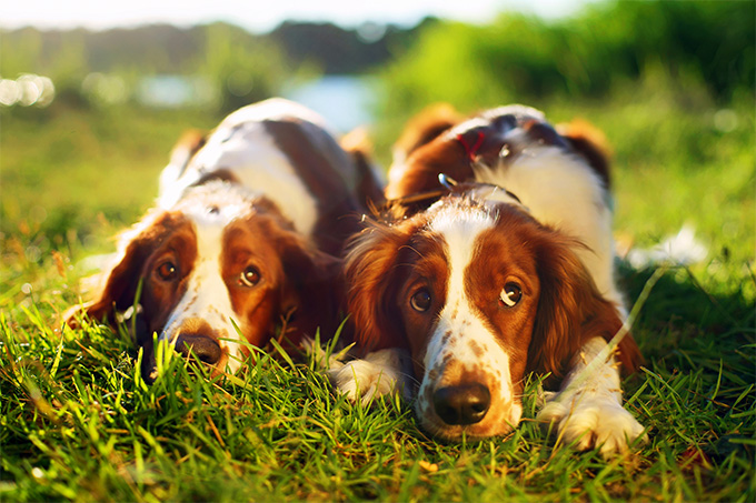 Welsh Springer Spaniel Dog Breed Picture
