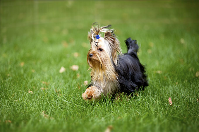 Yorkshire Terrier Dog Breed Information Pictures Characteristics